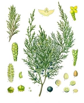 Juniperus_sabina_-_Köhler–s_Medizinal-Pflanzen-212