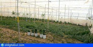 Marihuana-Guía-de-Isora-140418-777x400